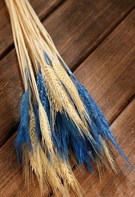 Duffed grain, 30-40 ears, ca. 40 cm, blue-white