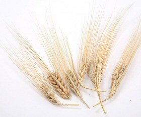 Ears of grain-heads, 24 pcs/pkg