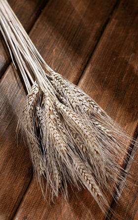Ears of grain, white, 60-70 cm, ca. 24 pcs.