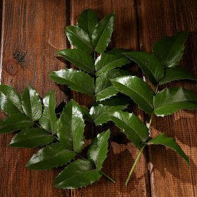 Holly- 3 branches ca.25-30cm living plant