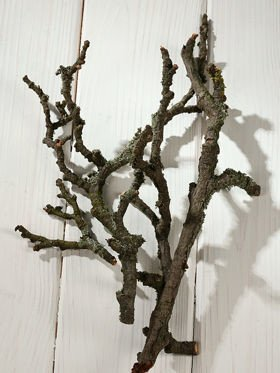 Moss-covered twigs of apple tree, 14-20 cm, 6 pcs