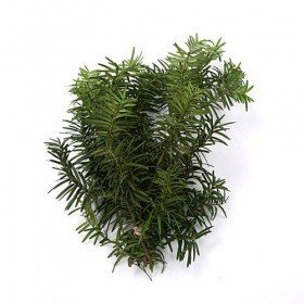 Natural yew,  bunch of 3 twigs, ca. 30 cm