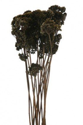 Tiny Achillea - ca. 12 branches