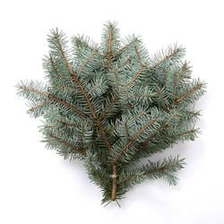 Natural silver spruce, bunch of 3 twigs, ca. 30 cm