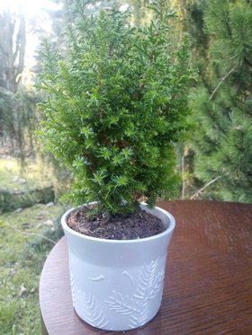 Christmas tree in a 35 cm holiday dish