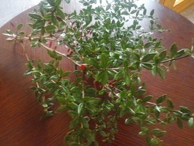 Evergreen plant 15-20 cm bunch