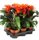 GUZMANIA FIERO ORANGE  12Ø 35cm -6