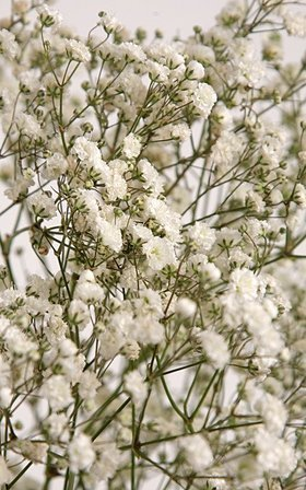 Gypsophila white bunch