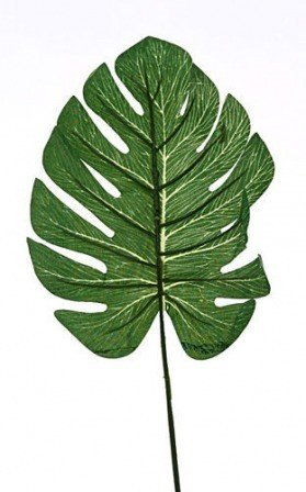 Leaf of Philodendron 45 cm