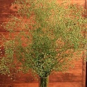 Gypsophila bouquet LIGHT GREEN about 30 cm
